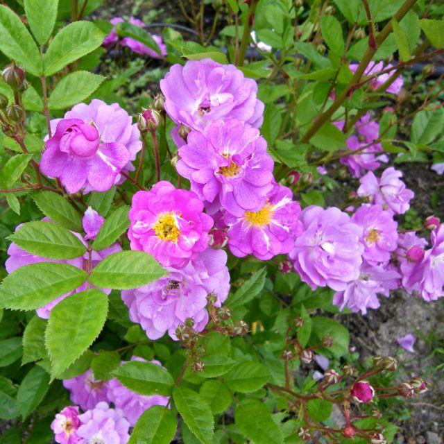 Rosiers à fleurs groupées